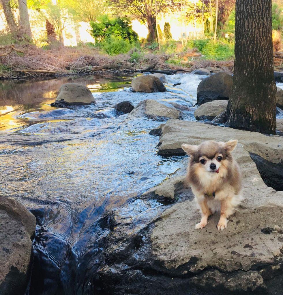 happy dog sitting on rock in a stream